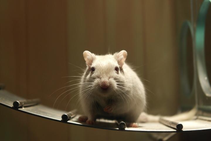 raton laboratorio